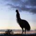Photo Critique of Emu at Sunrise